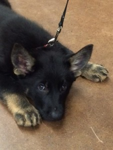 Ares at 10 weeks - 2 days before we brought him home.